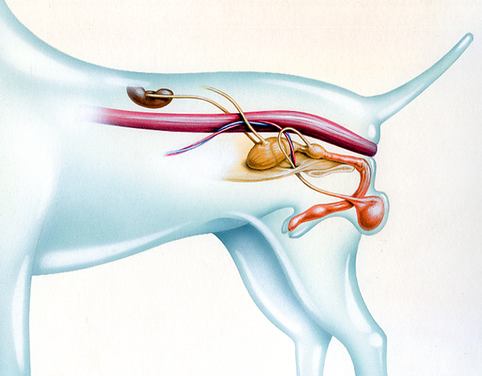 dog anatomy, reproductive system, medical illustration, internal organs, Illustration by John Fraser of the Canine Male Reproductive System For Dogs In Canada Magazine, dog anatomy, see through anatomy, canine medical illustration