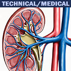 art and illustration image by John Fraser of Kidney interior showing veins and arteries, kidneys, cutaway medical illustration,